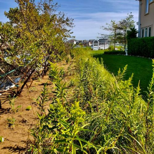 Seaside goldenrod, newly liberated from a fight with phragmites, is ready to pop a golden yellow, almost in celebration!