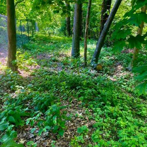 The existing seed bank of garlic mustard was previously suppressed by other aggressive invasive species. Once those were removed--garlic mustard moved right in.