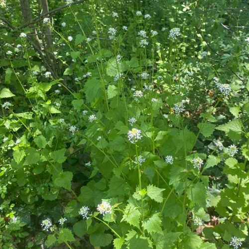 Kill these on site. Garlic mustard is a biennial plant. It requires two years to reproduce, but the second year plants can be quite prolific.  The key to its eradication is to eliminate the seed bank over time. Prioritize the removal of the second year plants before they go to seed!